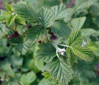 Листья малины: лечебные свойства